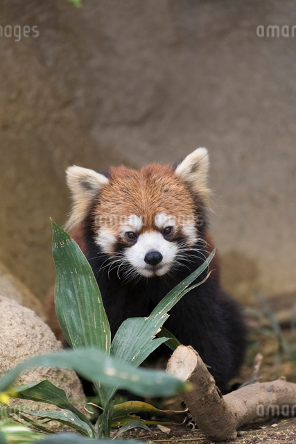 レッサーパンダの写真素材 [FYI03004236]