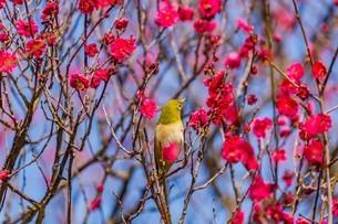 梅の花とメジロの写真素材 [FYI03004937]