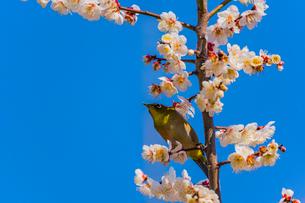 梅の花とメジロの写真素材 [FYI03004944]