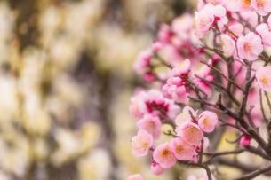 梅の花の写真素材 [FYI03004949]