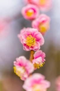 梅の花の写真素材 [FYI03004951]