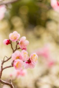 梅の花の写真素材 [FYI03004956]