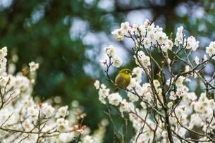 梅の花とメジロの写真素材 [FYI03004963]