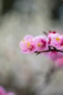 梅の花の写真素材 [FYI03004968]
