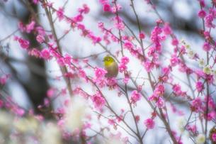梅の花とメジロの写真素材 [FYI03004970]