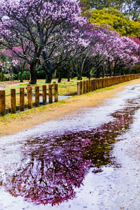 梅の花の写真素材 [FYI03004975]