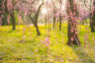 梅の花の写真素材 [FYI03004982]