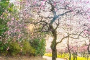 梅の花の写真素材 [FYI03004987]
