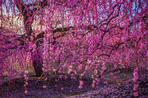 鈴鹿の森庭園 枝垂れ梅の写真素材 [FYI03004994]