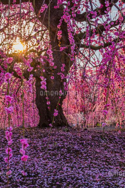 鈴鹿の森庭園 枝垂れ梅の写真素材 [FYI03004999]