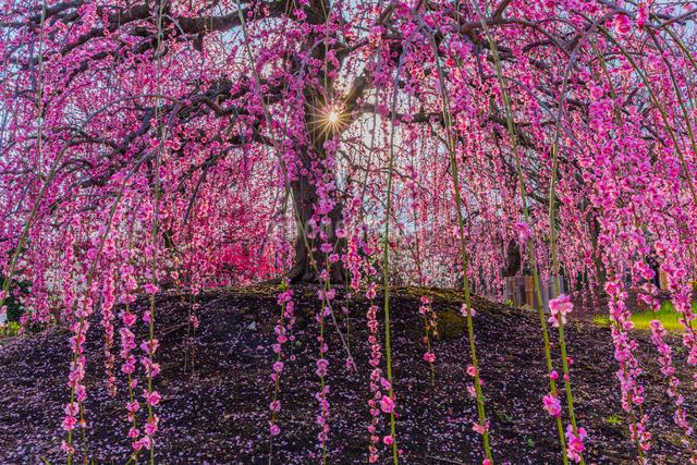 鈴鹿の森庭園 枝垂れ梅の写真素材 [FYI03005000]