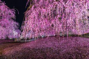 鈴鹿の森庭園 枝垂れ梅の写真素材 [FYI03005005]