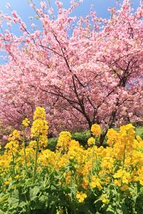 河津桜と菜の花畑の写真素材 [FYI03005073]