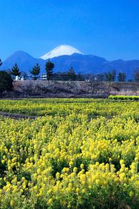 富士山と菜の花の写真素材 [FYI03005074]