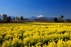 富士山と菜の花の写真素材 [FYI03005077]