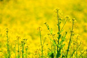 菜の花畑の写真素材 [FYI03005137]