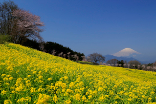 菜の花畑と富士山の写真素材 [FYI03005138]