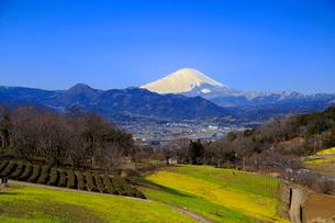 菜の花畑と富士山の写真素材 [FYI03005139]