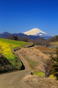 菜の花畑と富士山の写真素材 [FYI03005141]