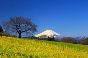 菜の花畑と富士山の写真素材 [FYI03005142]