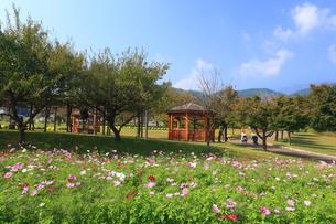 コスモスが咲く県立秦野戸川公園の写真素材 [FYI03005367]