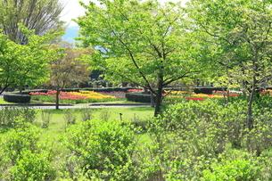 秦野戸川公園の新緑とチューリップ畑の写真素材 [FYI03005809]