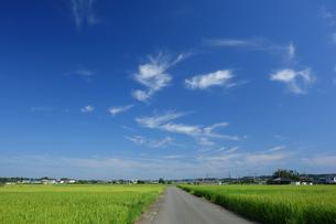 神奈川県 夏の水田の写真素材 [FYI03005985]