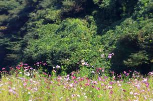 くりはま 花の国のコスモスの写真素材 [FYI03006038]