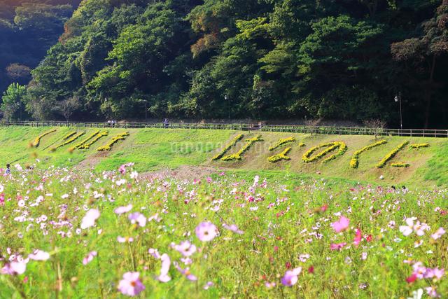くりはま 花の国のコスモスの写真素材 [FYI03006041]