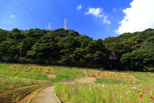くりはま 花の国のコスモスの写真素材 [FYI03006042]