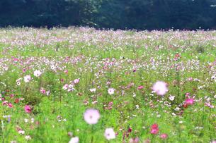 くりはま 花の国のコスモスの写真素材 [FYI03006043]