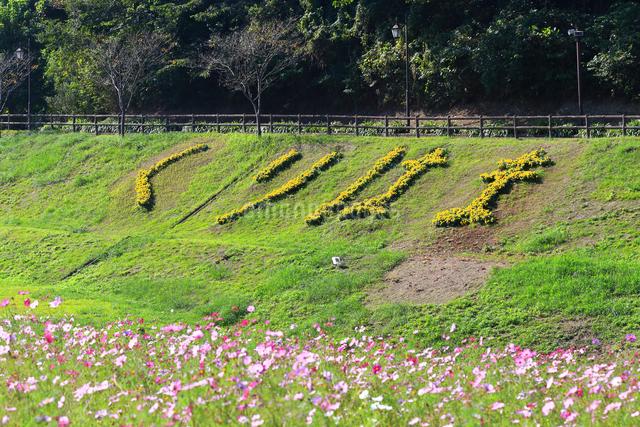 くりはま 花の国のコスモスの写真素材 [FYI03006044]