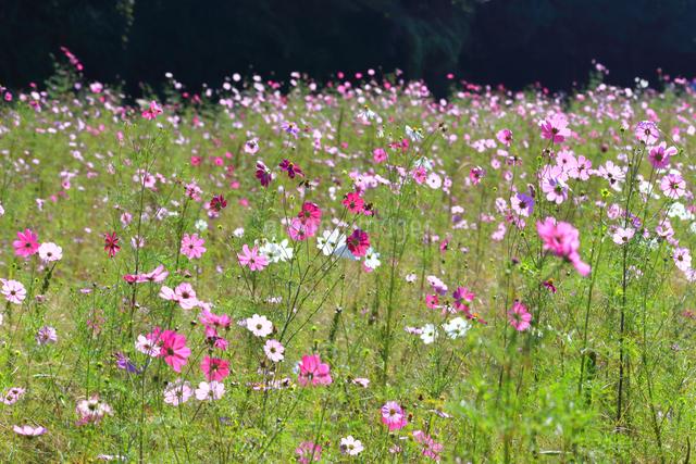 くりはま 花の国のコスモスの写真素材 [FYI03006075]