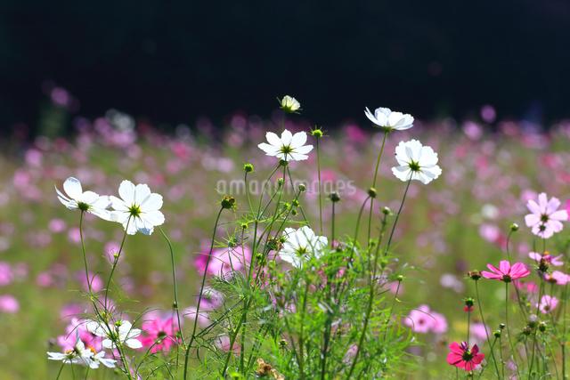 くりはま 花の国のコスモスの写真素材 [FYI03006077]