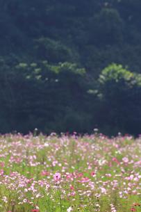くりはま 花の国のコスモスの写真素材 [FYI03006078]
