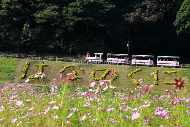 くりはま 花の国のコスモスの写真素材 [FYI03006079]
