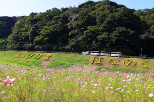 くりはま 花の国のコスモスの写真素材 [FYI03006087]