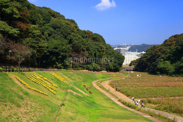 くりはま 花の国のコスモスの写真素材 [FYI03006088]
