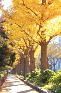 神奈川県 山下公園通りのイチョウ並木の写真素材 [FYI03006180]