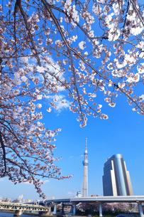 桜と東京スカイツリーの写真素材 [FYI03006368]