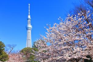隅田公園の桜と東京スカイツリーの写真素材 [FYI03006377]