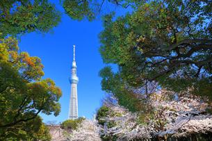 隅田公園の桜と東京スカイツリーの写真素材 [FYI03006383]