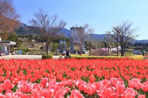 神奈川県 秦野戸川公園のチューリップの写真素材 [FYI03006391]