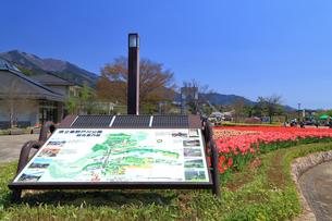 神奈川県 秦野戸川公園のチューリップの写真素材 [FYI03006423]