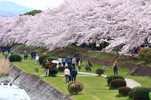 神奈川県 水無川の桜の写真素材 [FYI03006432]