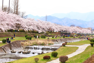 神奈川県 水無川の桜の写真素材 [FYI03006433]