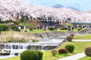 神奈川県 水無川の桜の写真素材 [FYI03006435]