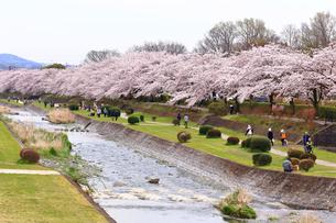 神奈川県 水無川の桜の写真素材 [FYI03006437]