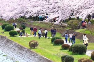 神奈川県 水無川の桜の写真素材 [FYI03006439]