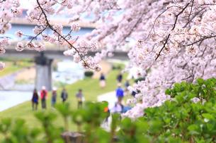 神奈川県 水無川の桜の写真素材 [FYI03006451]